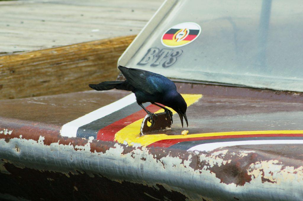Un Quiscale des marais sur un airboat dans les everglades