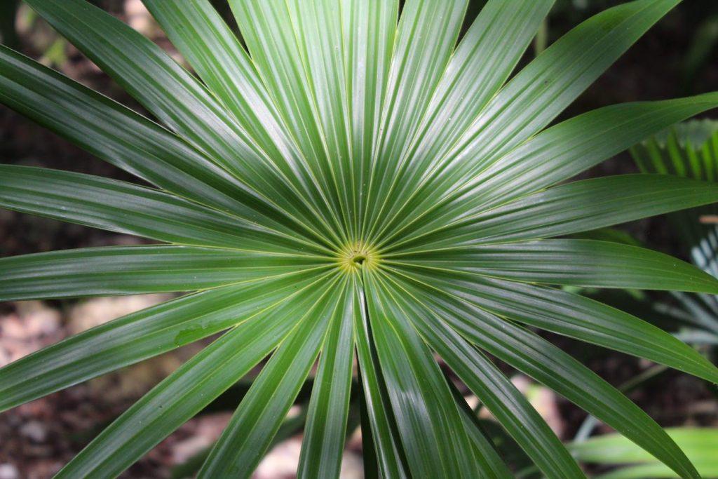 """Un bel exemple palmier """"palma chiit"""""""