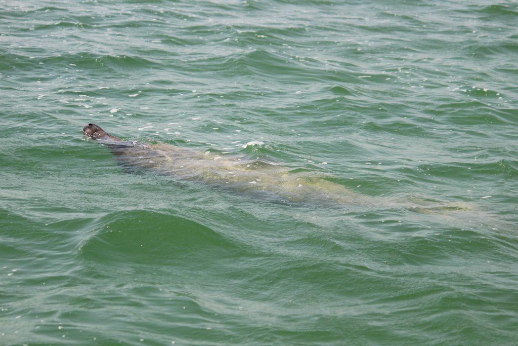 Un lamantin observé lors de notre expédition en bateau à sian ka'an