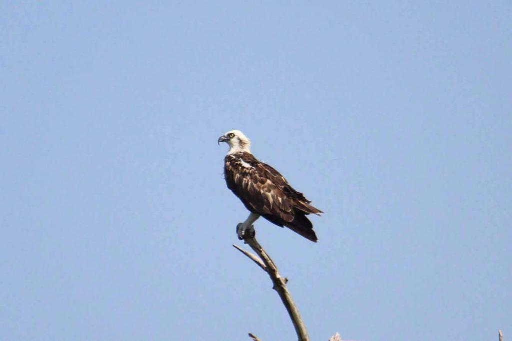 Un aigle pêcheur ou balbuzard sur sa branche