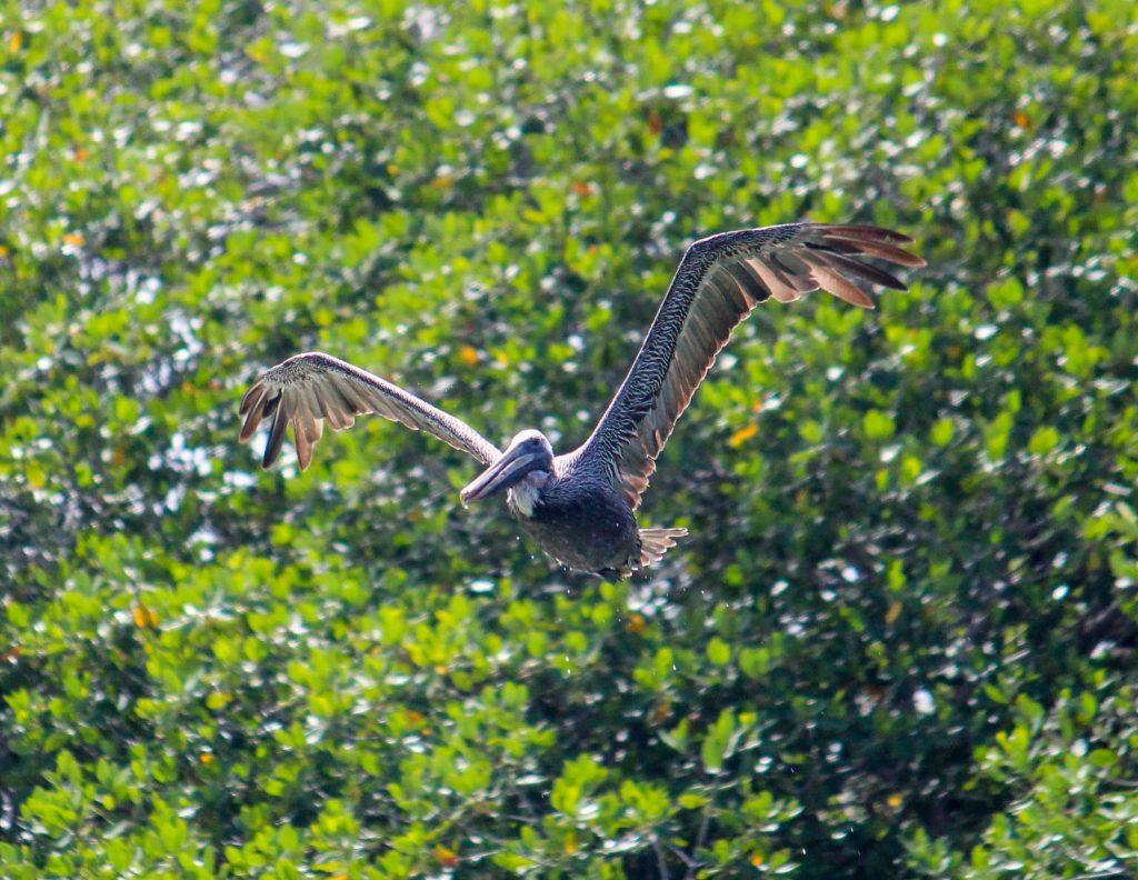 Le vol du pélican brun