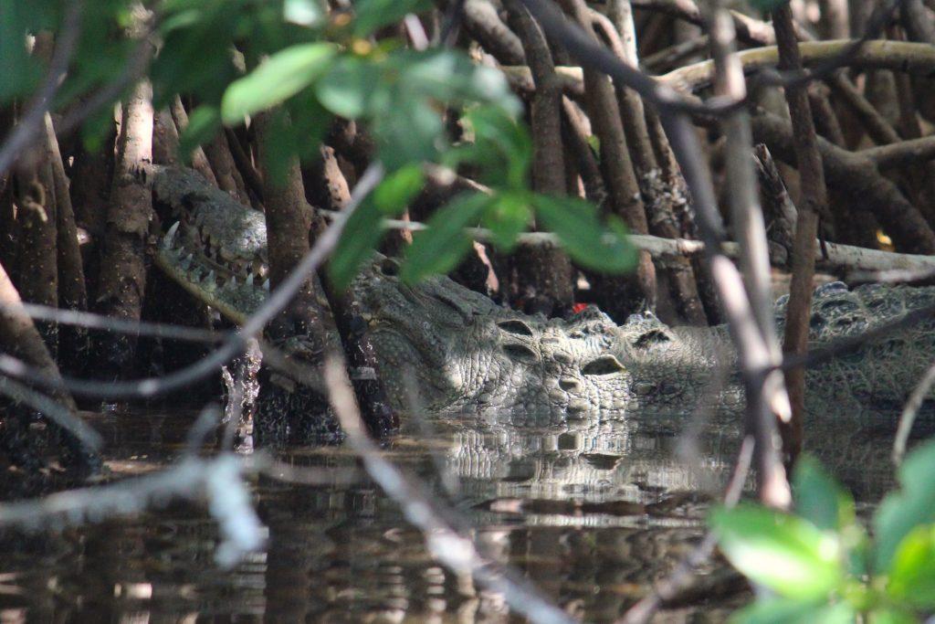 Un crocodile de Morelet dans la végétation des marais